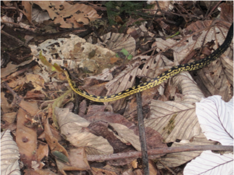 black and yellow leeward racer snake